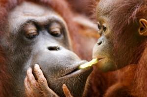 orangutan-1f5mroc